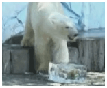 Polar bears chomp on froozen fruit.
